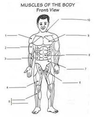 human muscle labeling worksheet – lickclick, Muscles